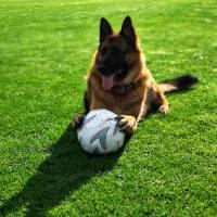 German shepherd with ball on field.