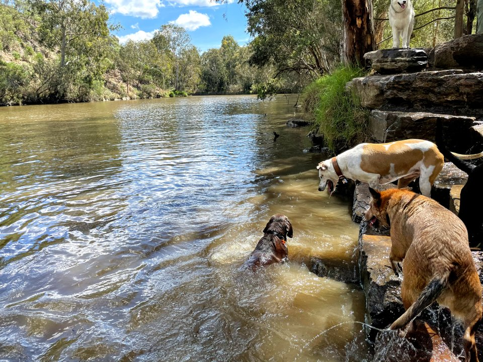 Group dog walk at local creek, dogs playing and swimming at Yarra Bends Park.
