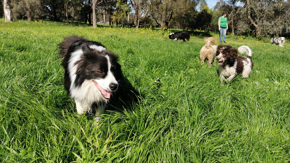 Melbourne dog walker with group of dogs socialising and playing at Yarra Bends Park.