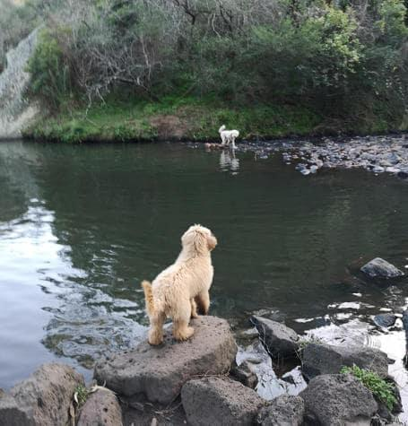 Dogs at local creek for swim with dog walker